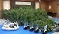 押収された大麻など